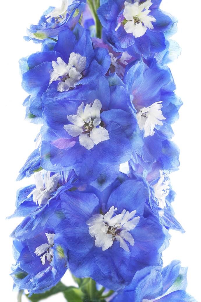 Delphinium (Delphinium elatum). For tall spires of vivid blue flowers it is hard to ignore delphiniums. These perennials grow best in cool climates with moist soils. Protect from wind and support the 1-2m high stems with stakes. They flower in summer.