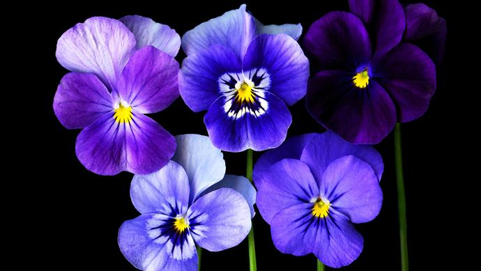 Pansy and viola (Viola x wittrockiana). Pansies and violas range from pale blue to deep purple. Grow them in garden beds or pots for flowers from winter to spring (year round in cool climates). In the language of flowers, they symbolise thought.