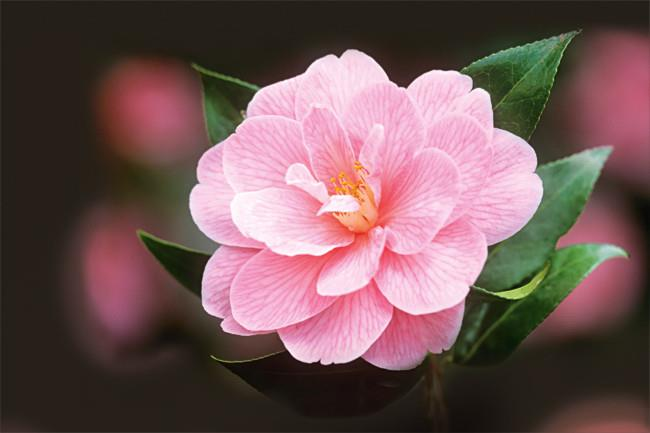 'Donation' was among the first C. x williamsii hybrids and remains one of the best camellias for cool climates.