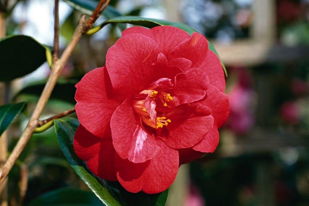 C. japonica 'Adolphe Audusson' has large semi-double flowers.