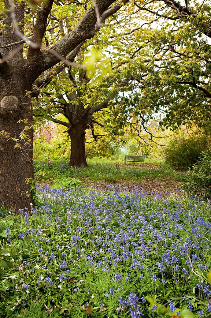 A carpet of bluebells under the oaks.