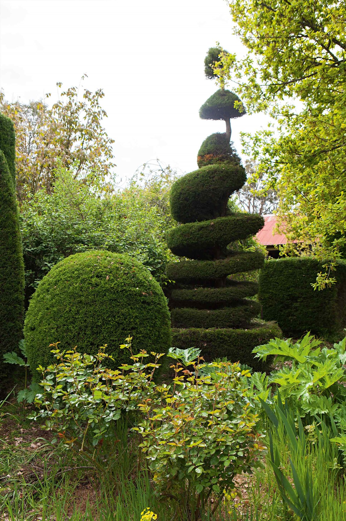 This corkscrew topiary has been refined over decades.