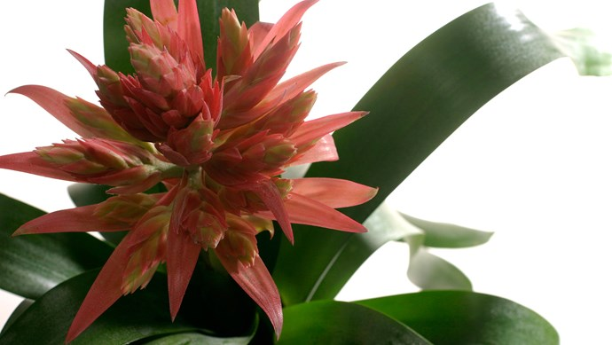 Bromeliad (Vriesea spp.) adds bold colour and form to indoor gardens in bright to low light. Flowers are long lasting. Grow in an orchid potting mix. Water and mist regularly. Suckers can be replanted.   Photo: Getty Images