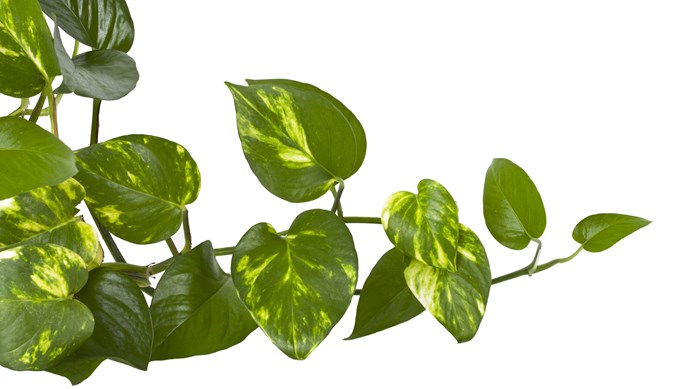 Devil's ivy or pothos (Epipremnum aureum) is a climber that grows in bright to low light away from draughts. Water when dry and dust leaves. Prune to control size. Poisonous to pets.   Photo: Getty Images