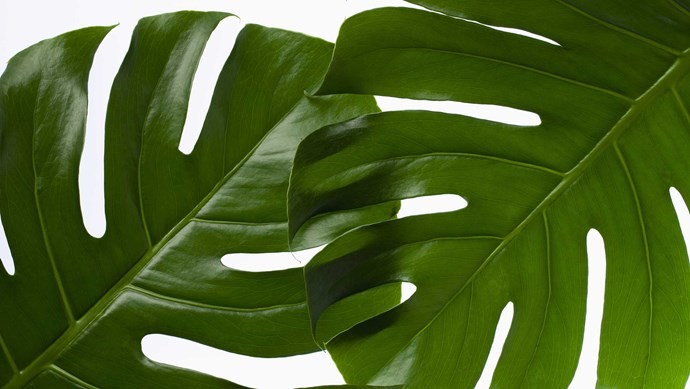Swiss cheese plant (Monstera deliciosa) enjoys a well-lit spot away from of direct light. Allow potting mix to dry out slightly between waterings. Mist and dust leaves. Remove spent leaves and repot occasionally. Support climbing branches. Height: 3m   Photo: Getty Images