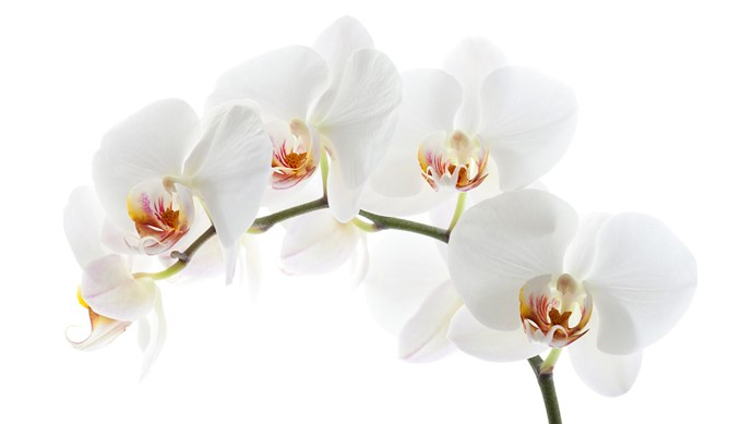 Moth orchid (Phalaenopsis spp.) has long-lasting, butterfly-shaped white or purple flowers. Provide bright light, shelter from cold draughts and grow in well-drained orchid mix. Mist once or twice a week. Let flower stems die back before pruning off dead growth.   Photo: Getty Images