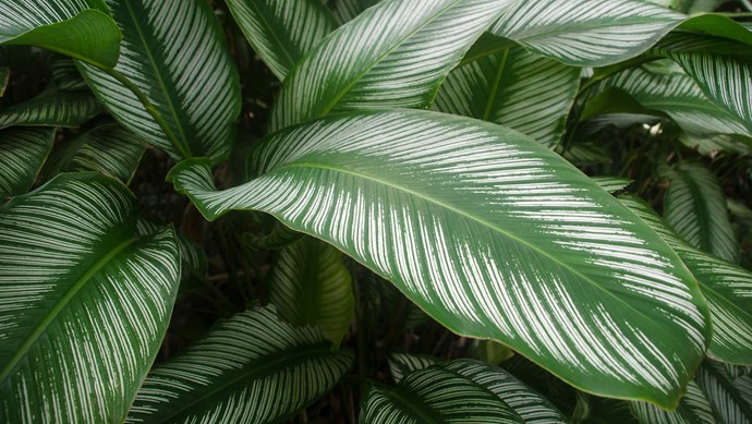 Pin-stripe calathea (Calathea ornata 'Sanderii') enjoys a brightly lit spot out of direct sunlight. Water when dry, dust leaves and mist daily to maintain humidity to avoid leaf spots.   Photo: Getty Images