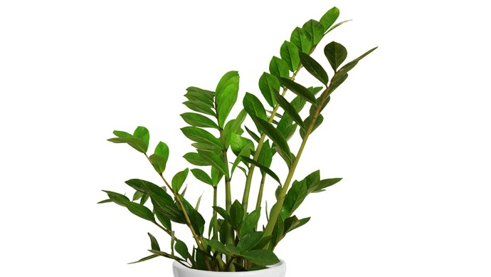 Zanzibar Gem (Zamioculcas zamiifolia) is a striking foliage plant that's almost indestructible. It needs a well-lit spot but survives long periods without water as it grows from a rhizome. Only water when dry. [Related: 7 best ways to display indoor plants](http://elb.fe.hl.nlm.io/decorating/living-dining/best-ways-to-display-indoor-plants?ref=/search)   Photo: Getty Images