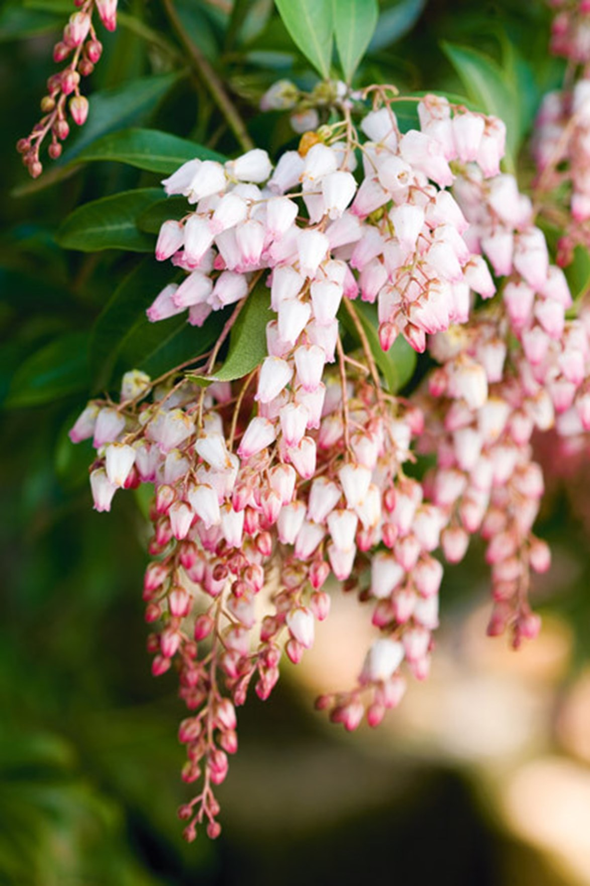 The beautiful Lily of the valley shrub enjoys shady areas under trees in cooler areas of Australia.