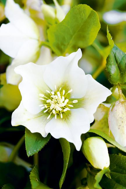 <p>**WINTER ROSE**<p> <p>Plant winter rose in soil enriched with compost and give it lightly dappled shade. It is perfect for planting beneath deciduous trees. Winter sunshine will encourage more flowers and the summer canopy of the tree overhead will protect it from too much heat.<p>