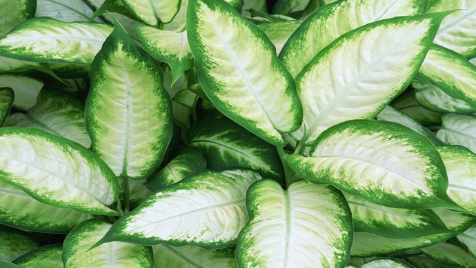 Dumb cane (Dieffenbachia 'Tropic Marianne') is a striking lime-green and white plant for bright but not direct light. Leaves grow on cane-like stems that can be pruned. Water when dry and mist occasionally. All plant parts are poisonous.   Photo: Getty Images