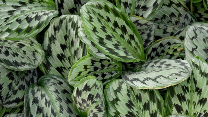 Prayer plant (Calathea spp.) needs a bright but not direct light.  Water regularly but don't allow pot to stand in water. Leaves may move through the day or close. Remove dead leaves to keep the plant tidy.   Photo: Getty Images