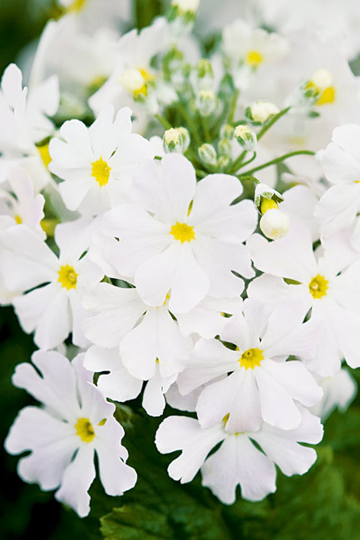 Don't be fooled by it's pretty flowers! Primrose is capable of causing a toxic reaction if eaten or touched.