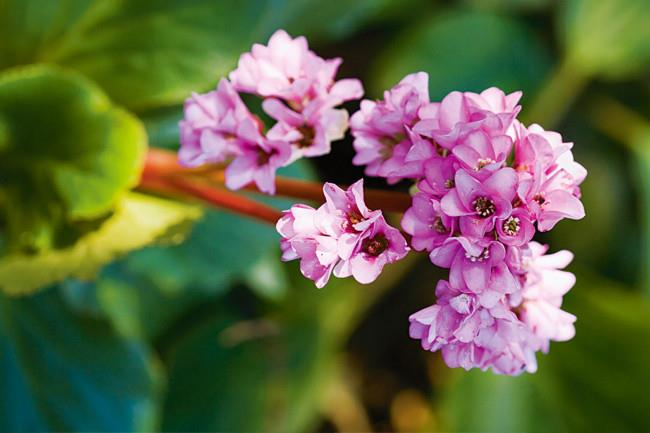 <P>**BERGENIA**<p> <p>Plant Bergenia under trees and in shady locations. In sunnier areas flowers dominate at the expense of foliage. Flowers grow in clusters on large stems and open during winter.<P>
