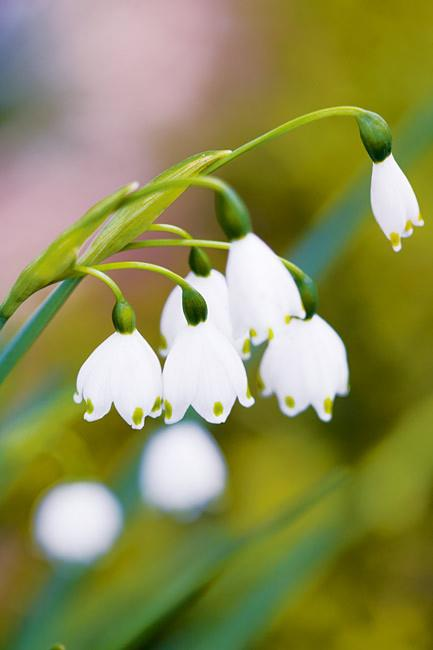<p>**SNOWDROP**<P> <p>Snowdrops like to grow in the shade. They're a great addition to any balcony garden as they flourish in containers.<p>