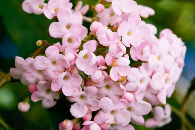 <p>**LUCULIA**<p> <p>Luculia can be temperamental and hard to establish, but once it settles in, it makes a superb shrub with generous trusses of slender-tubed, rosy pink flowers with the most powerful perfume.<p>
