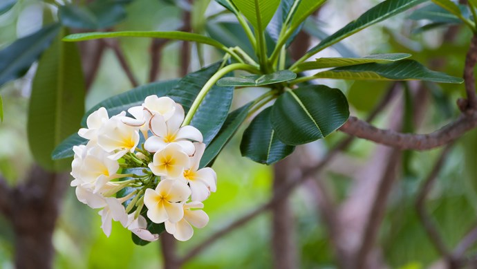 """10\. Take cuttings of frangipani. Rest your cuttings in shade for a few weeks before placing in the ground. For further tips, check out our [""""How to grow"""" guide](http://www.homelife.com.au/gardening/how-to-grow/how-to-grow-frangipani-trees)."""