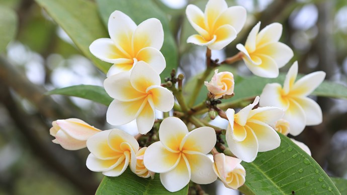 3\. [Frangipani](http://www.homelife.com.au/gardening/plant-guides/plant-guide-frangipanis) (Plumeria rubra). Frangipanis are small succulent deciduous trees with fragrant white, pink or apricot flowers in summer and autumn. Best in temperate to tropical climates. 3-5m.