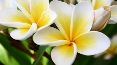 How to take a frangipani cutting