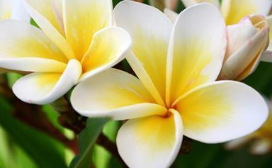 How to take a frangipani cutting