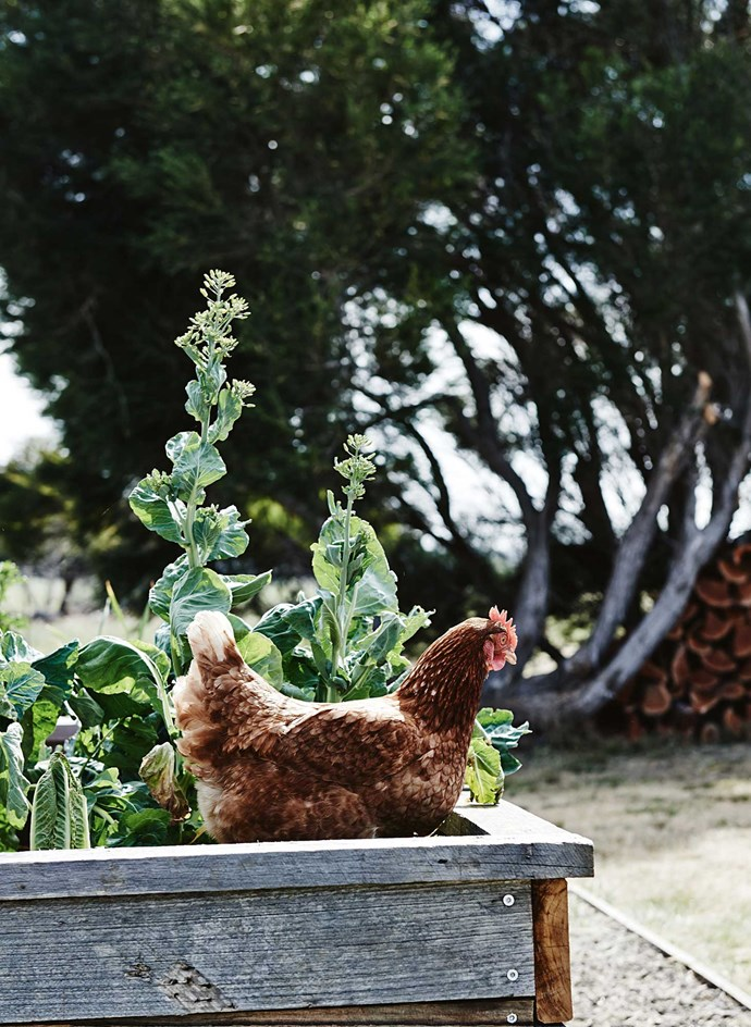 "A chicken gets comfortable in the [vegetable patch](https://www.homestolove.com.au/how-to-start-a-vegetable-patch-5108|target=""_blank"")."