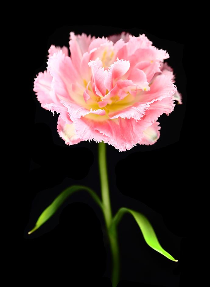 **Carnation** Carnations come in a myriad of pink colours and shades from pale to rosy pink. This flower has a delicate fringe to the edge of its petals. Carnations grow in a sunny spot in the garden. Cut flowers are available throughout the year.