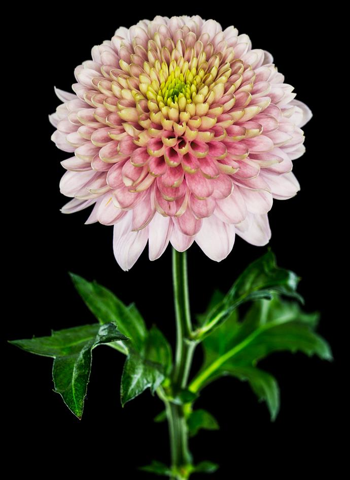 "**Chrysanthemum** This chrysanthemum is perfectly shaped with the pink petals arranged around a yellow centre. [Chrysanthemums](https://www.homestolove.com.au/plant-guide-chrysanthemums-9485|target=""_blank"") grow from spring to late autumn and die down over winter. They [flower in autumn](https://www.homestolove.com.au/10-best-autumn-flowers-12959