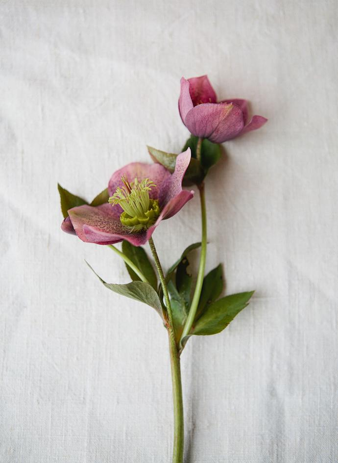 "**Hellebore**<br> A sweet star-shaped bloom, with leaf-like petals surrounding a raised pillbox centre, [hellabores](https://www.homestolove.com.au/plant-guide-hellebores-9826|target=""_blank"") are available in the most muted green tones, through to an almost burgundy, violet shade. Sublime in buttonholes and as an accent in mixed bouquets, especially when paired with the season's other star flowers, such as lilac and Guelder rose. Creates a rambling, fresh look."