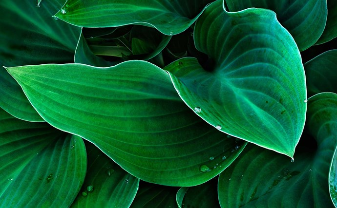 Hostas (Hosta spp.) need shade and a cool climate. They have striking green, patterned or variegated leaves and sprays of white and lavender flowers in summer. Plants die back in winter but regrow in spring.