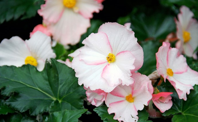 Begonias (Begonia spp.) come in many shapes and sizes: cane, trailing, compact and variegated (pictured). All thrive in a vertical garden and add impact with their colourful leaves and pink, white or apricot flowers.