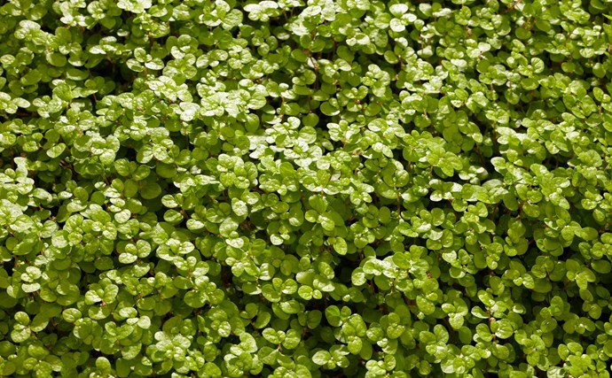 Baby's tears or helxine (Soleirolia soleirolii) is a dainty, spreading mat-like plant with tiny, round, bright green leaves. It loves a moist spot with low light.