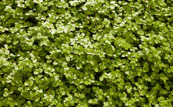**Baby's tears** or helxine (Soleirolia soleirolii) is a dainty, spreading mat-like plant with tiny, round, bright green leaves. It loves a moist spot with low light.