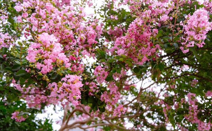 "[Crepe myrtle](https://www.homestolove.com.au/crepe-myrtle-planting-and-care-9871|target=""_blank"") is a pretty summer-flowering deciduous tree or tall shrub that's tougher than its crepe-like pink, mauve or white flowers suggest. Select hybrids from the Indian Summer or Magic Series for trouble-free growth. Small varieties suit sunny courtyards or large containers."