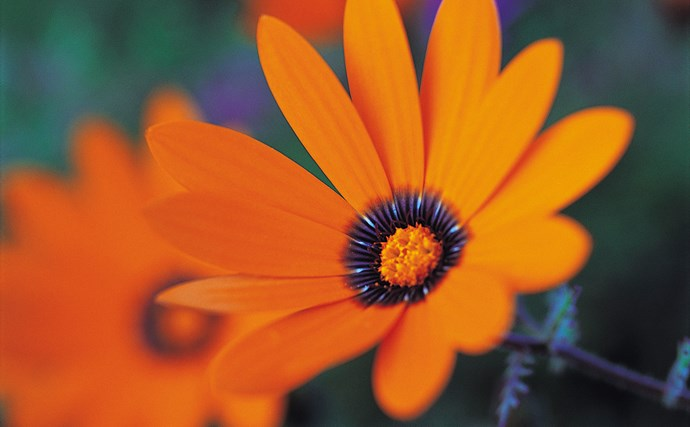Gazania is a low-grower for a really hot, dry spot or a low-care pot. Look for named, sterile (seedless) varieties as this plant grows so well it has become an environmental weed in some temperate areas.