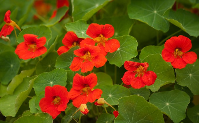 Nasturtium is an easy-to-grow trailing annual with orange, yellow or bicolour flowers. It grows in sun or shade but flowers best in sun. It won't last forever but when it dies, new plants grow from the seeds left behind. Pick the [edible flowers](http://www.homelife.com.au/gardening/features/edible+flowers,10523) for a vase or to add to a salad! This is a great plant for kids to grow.