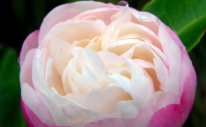 """[Sasanqua camellias](https://www.homestolove.com.au/plant-guide-winter-camellias-9149 target=""""_blank"""") begin to flower in late summer but hit their straps in autumn. Pink or white, single or double, the flowers stand out against those deep green evergreen leaves. Sizes range from groundcover to 3m plus shrubs or trees. They're good in pots, as a hedge, topiary or feature."""