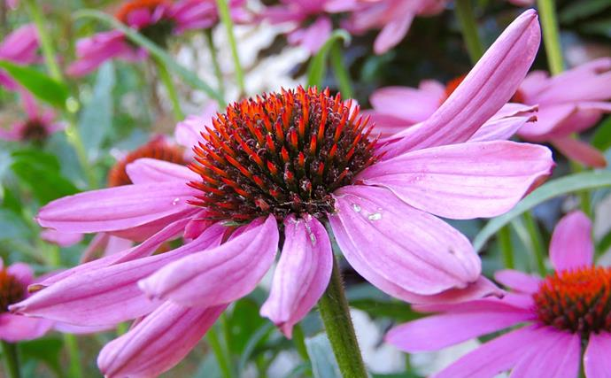 "[Echinacea or coneflower](https://www.homestolove.com.au/plant-guide-echinacea-9831|target=""_blank"") attracts butterflies, bees and other beneficial insects to its flowers. They are also long flowering and good to pick for a vase. Echinacea species are also used in herbal medicines."