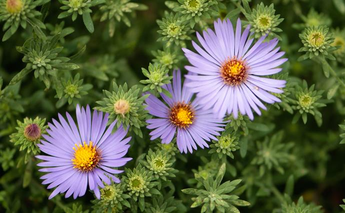 Asters such as Aster novi-belgii fill gardens with no-fuss autumn flowers in blue, mauve, pink or white. Varieties grow from 30cm to almost 1m tall. Chop back after flowering. Plants die down in winter but regrow in spring.