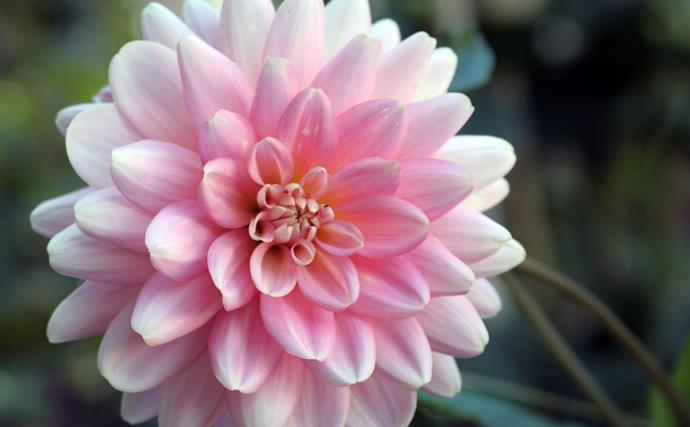 "[Dahlias](https://www.homestolove.com.au/plant-guide-dahlias-9992|target=""_blank"") add vibrancy to gardens from summer until frosts arrive and are great for picking. Cut stems back hard at the end of autumn. Leave tubers in the ground. They'll regrow in spring which is also the time to plant new tubers. Dahlias flower in a myriad of colours, shapes and sizes from late summer to autumn. They like full sun."
