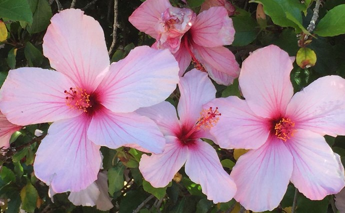 7. Hibiscus flowers add a touch of the tropics to warm, sheltered autumn gardens. Their bold colours and large, flared petals light up the autumn garden. Small varieties can be grown in tubs.