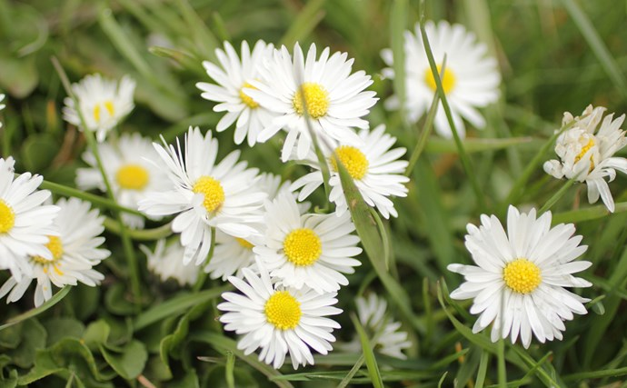 8. Michaelmas or Easter daisies are tall-growing perennial asters. These dainty white flowers have a delicious honey-scent. They grow on stems to around 1-1.2m high and last well if picked. Cut plants back after flowering in late autumn.