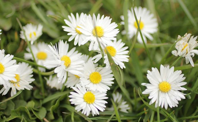 Michaelmas or Easter daisies are tall-growing perennial asters. These dainty white flowers have a delicious honey-scent. They grow on stems to around 1-1.2m high and last well if picked. Cut plants back after flowering in late autumn.