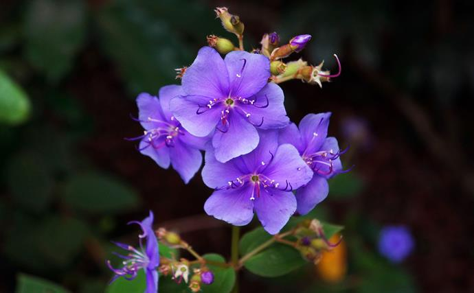 Tibouchinas add colour from their splashy purple, mauve and white flower to autumn gardens. These long-flowering shrubs need a frost-free spot. Prune tall growers after flowering or in late winter to keep plants compact.