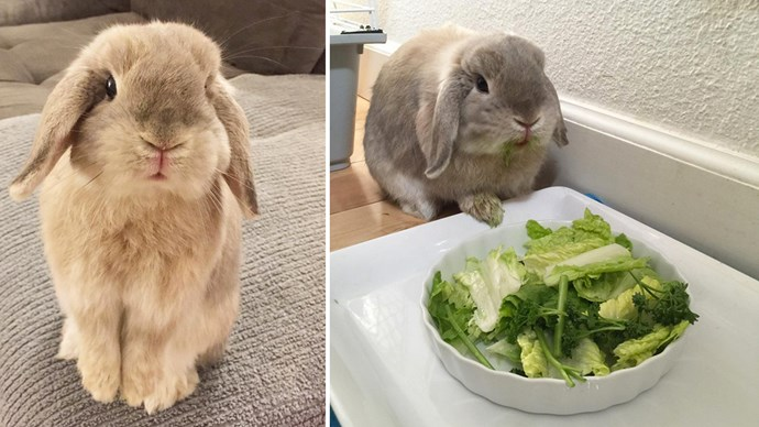 Bentley here lives in sunny California, has special parsley grown for his enjoyment and an email address for all super urgent enquiries. Check him out at [@bunnynamedbentley](https://www.instagram.com/bunnynamedbentley/).