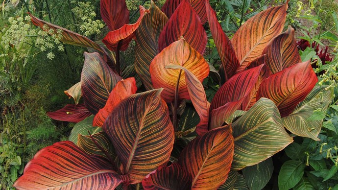 Canna 'Tropicanna' is grown for its boldly striped leaves, orange flowers and tough attitude. It likes full sun, tolerates wet soil and can be grown in a large pot. It grows to around 1.2-2m high but dies down over winter.