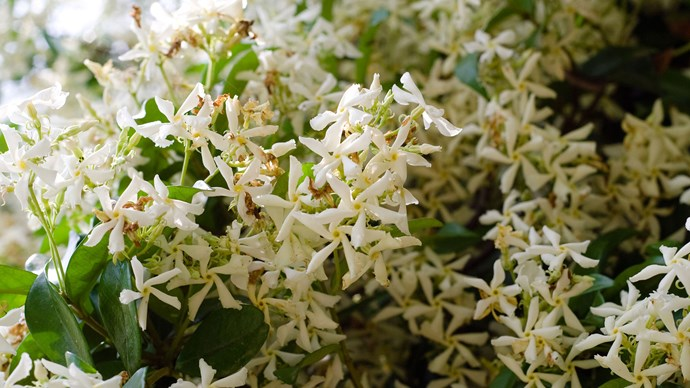 "Star jasmine is both tough and versatile. It can grow as a no-fuss groundcover or a [climber](https://www.homestolove.com.au/fast-growing-climbing-plants-1584|target=""_blank"") in sun or shade. The star-like flowers are heavily perfumed and cover the plant in mid-spring. It's evergreen and flowers best in full sun trained against a wall. It has milky sap like some of these other tough plants"
