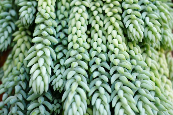 **Sedum morganianum:** Also known as Donkey's Tail, this Mexican specimen can go without water for weeks at a time and looks great in a hanging basket.