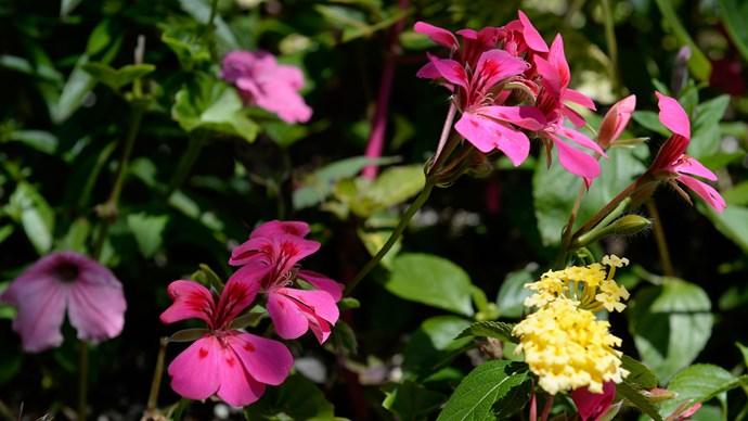 Ivy geranium (Pelargonium peltatum) adds bright flower colour to sunny vertical gardens. Prune in early autumn to renew.