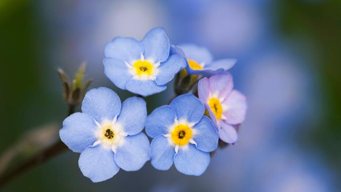 Forget-me-not (Myosotis sylvatica). For a sea of blue flowers in spring, plant forget-me-nots. Be sure you want them though, as they'll seed and regrow every year forever. They get their beguiling name from the way the seeds adhere to everything from your jeans to the dog's fur.