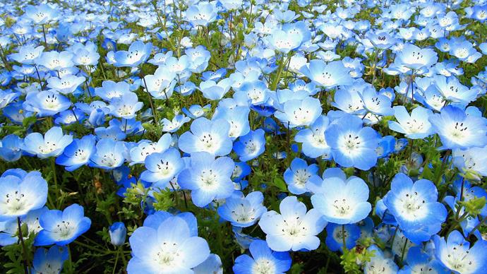 Nemophila (Nemophila menziesii). Also known as baby blue eyes, this charming blue-flowered annual grows easily from autumn-sown seed and flowers from late winter to spring. Use it to cover the soil while the garden is waiting for spring bulbs to flower. It is best in a sunny spot.